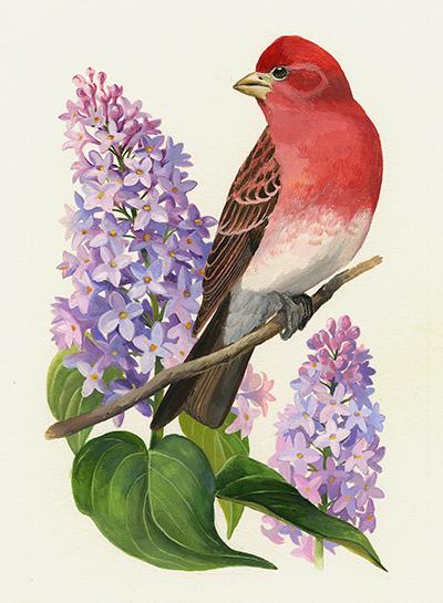 Pinzón morado y Lilo. Diseño para la serie de sellos Pájaros y flores del estado, correspondiente a New Hampshire (1982).